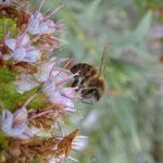 Honigbiene auf Natternkopf