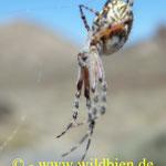 Spinne - Tarantula