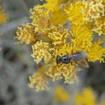 Wildbiene auf der Seidenhaarigen Schizogyne