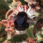 Hummel der Kanaren, Bombus canariensis, Pollengeneralist