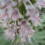 Blütenstand vom Natternkopf - Echium virescens DC.