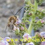 Langhornbiene am weißblühenden Natternkopf