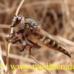 No es un pajaro - es un insecto, cerca del vocan Chinyero