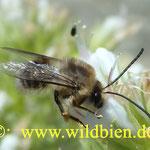 Langhornbiene auf dem weiß blühenden Natternkopf, ein sehr unruhiger Gesellle