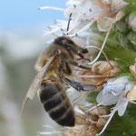 Honigbiene am weißblühenden Natternkopf
