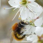 Fuchsrote Erd- oder Sandbiene, Goldbiene, Andrena fulva an Schlehenblüte