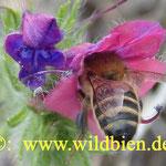 Honigbiene am Natternkopf