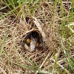 Erdhummel - Bombus terrestris: Pause bei der Nestsuche