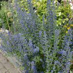 Natternkopf, Pflanze/Staude - zur Blütezeit von Juni - September (Anfang)