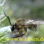 Langhornbiene auf dem weiß blühenden Natternkopf, verbleibt nur 1 - 2 sec an einer Blüte