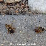 Gehörnte Mauerbiene - Osmia cornuta: 2 Pärchen im Paarungsvorgang