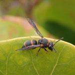 Wespe - Schädlingsbekämpfer, fing Blattläuse