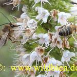Langhornbiene und Honibiene teilen sich ein und dieselbe Nahrungspflanze - hier den weiß blühende Natternkopf