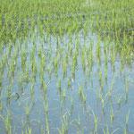 6月末頃から7月初頭、田んぼはトンボの孵化場となります。みなさまに見せたい景色のひとつです。