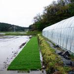 この苗を水田に運び出し、水中育苗に切り替えます。田植え用の成苗にするまで、ここからまた約1ヶ月を要します。