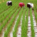 どうしても伸びてくる雑草は、地域のお母さんたちに抜いてもらう事もあります。1人では太刀打ち出来ない事もしばしば。農薬を使わない農法は、地域の雇用創出にも貢献します。