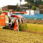 9月末から10月にかけて稲刈りを迎えます。