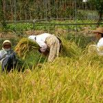 秋田では9月末から10月にかけて稲刈りを迎えます。