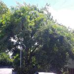 Im Sommer, der Baum hat eine schöne Wuchsform.