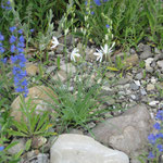Natternkopf und Graslilie - einheimische Schönheiten