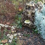 Ein Pilz hat den Wurzelstock erobert und streckt uns frech die Zunge raus