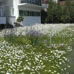 Margeriten-Blumenwiese