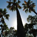 Un palmier parmi tant d'autres