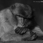 Bewusstsein - Affe