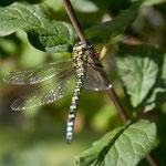Durchsicht - Libelle
