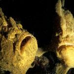 Antennarius commersoni  Paar