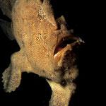Antennarius commersoni schwimmend