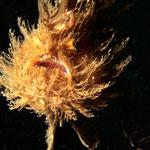 Antennarius hispidus schwimmend - Nachttauchgang