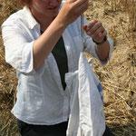 Die jungen Wiesenweihen werden vermessen und wie hier hewogen