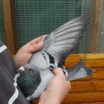 1ter Konkurs DV-08695-10-0484 blauer Vogel
