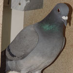 DV-0921-12-0077 blau Weibchen
