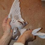 2.Beste Taube auf den Ruhrgebietsflügen in 2013 DV 06892-10-238W