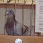 Bester Vogel in 2011 der RV-WATTENSCHEID 13 x Gesetzt 12 Prs. 4541Prkm. & 1076,94 A.S.P!
