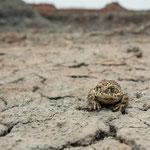 Kreuzkröte im Habitat