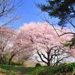 桜 大木囲貝塚
