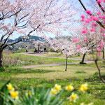 桜 多聞山