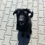 Laila, Labradormischling, ca. 12 Mon.