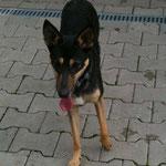 Sari, Schäferhund-Mischling, 1,5 Jahre