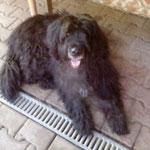Buddy, Mischlng, 8 Jahre