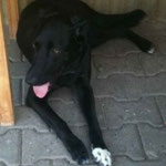 Taylor, Labrador-Mischling, 1 Jahr