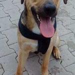 Rocky, Schäferhund-Mischling, 8 monate