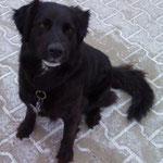 Brandy, Labrador-Mischling, 6 Jahre