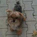 Charly, Yorkshire-Terrier, 8 Jahre