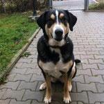 Cassie, Husky-Sennenhundmix, 4 Jahre