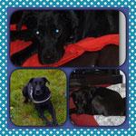 Cammy, Labrador-Mix, 4 Jahre