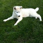 Lupo, Husky, 3 Monate